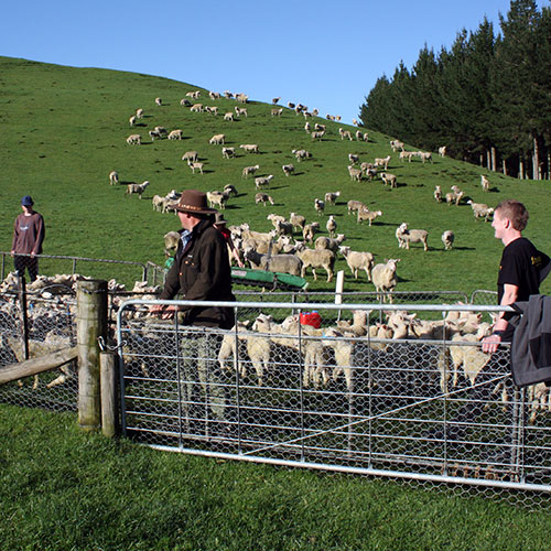Hex Wire Centre Strand docking netting used to contain sheep
